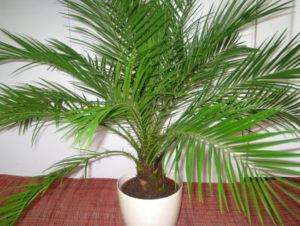 пальма с перистыми листьями