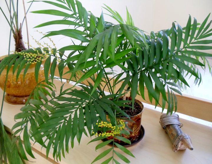 Пальма домашняя