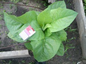 Особенности выращивания табака на огороде для курения