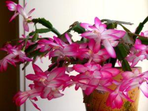 Цветок декабрист и правильный уход за ним в домашних условиях