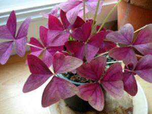 Растение кислица комнатная
