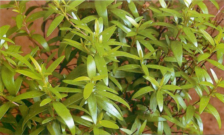 Листья мирта применяются при лечении желудочно-кишечного тракта
