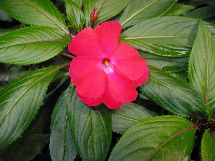 Бальзамин новогвинейский