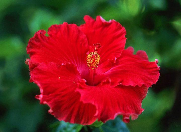 Почему гибискус цветок смерти и другие его названия