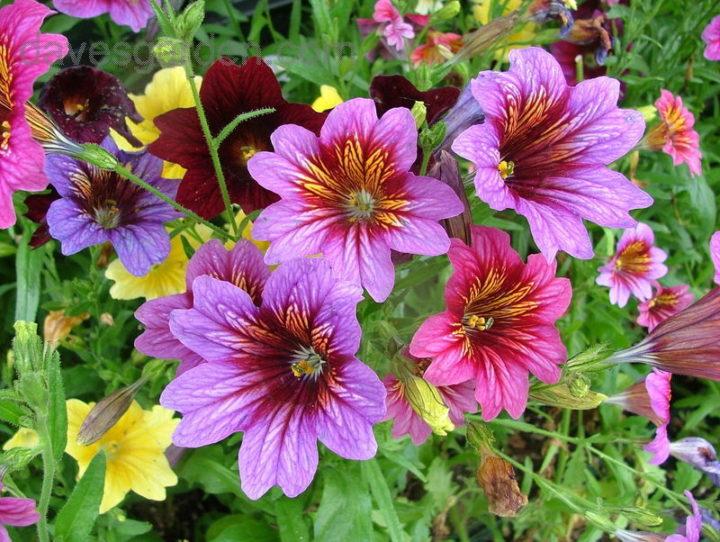 Цветок канна индийская