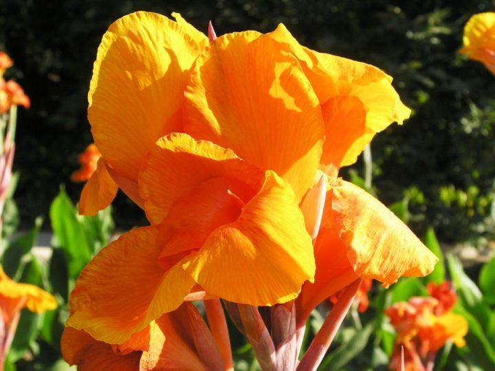 Цветущая канна садовая