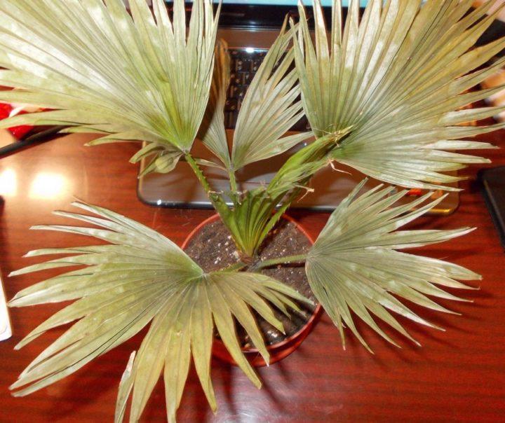 Пальма Ливистона - желтеют листы