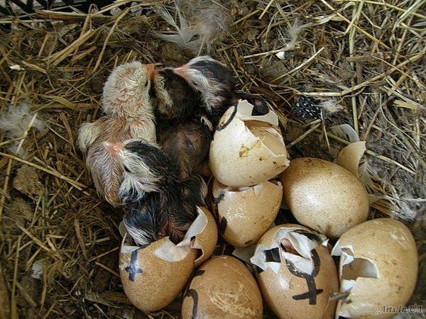 Рождение цесарят