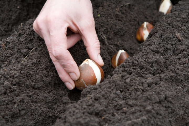 Посадка луковиц тюльпана осенью