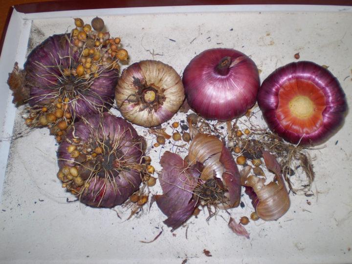 Гладиолусы после просушки