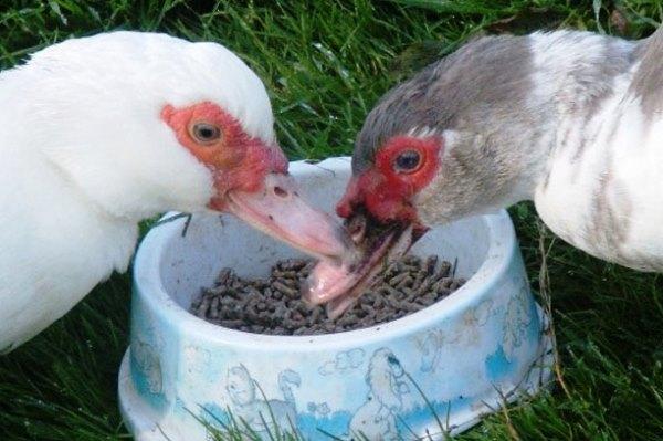 Кормление птицы