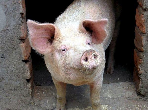 Выманивание свиньи