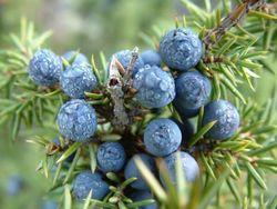Полезные свойства и применение плодов можжевельника