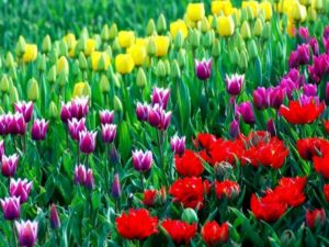 Когда следует сажать тюльпаны?
