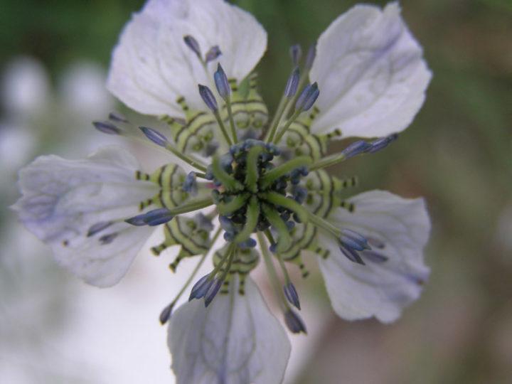 Растение тмин