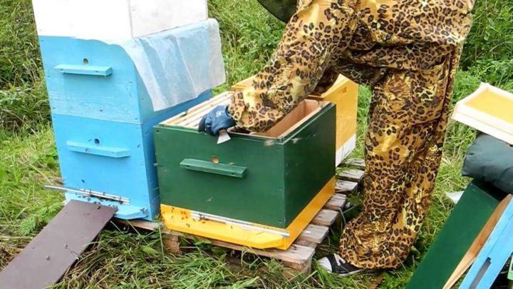 Пересадка пчел из пчелопакета в улей