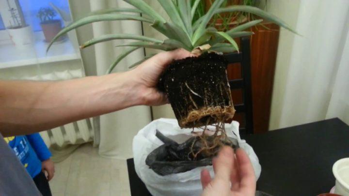 Пересадка ананаса в большой горшок
