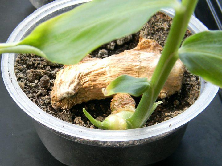 Как цветёт имбирь в домашних условиях фото