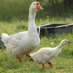 Картинки по запросу Самостоятельное разведение гусей в домашних условиях: советы для начинающих