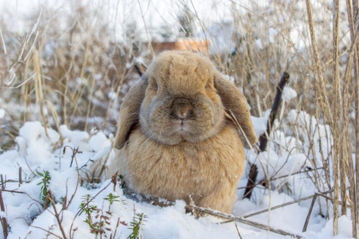 Как правильно кормить кроликов зимой