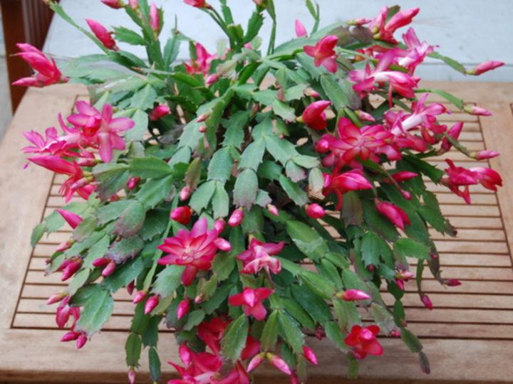 Цветок рождественник (Шлюмбергера, декабрист)