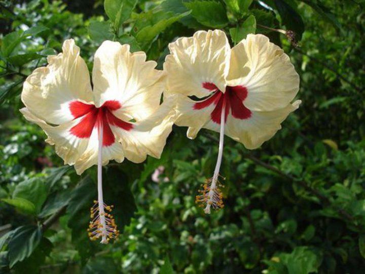 Гибискус называют цветком смерти