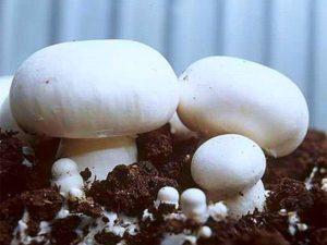 Выращивание шампиньонов в домашних условиях: инструкция для новичков
