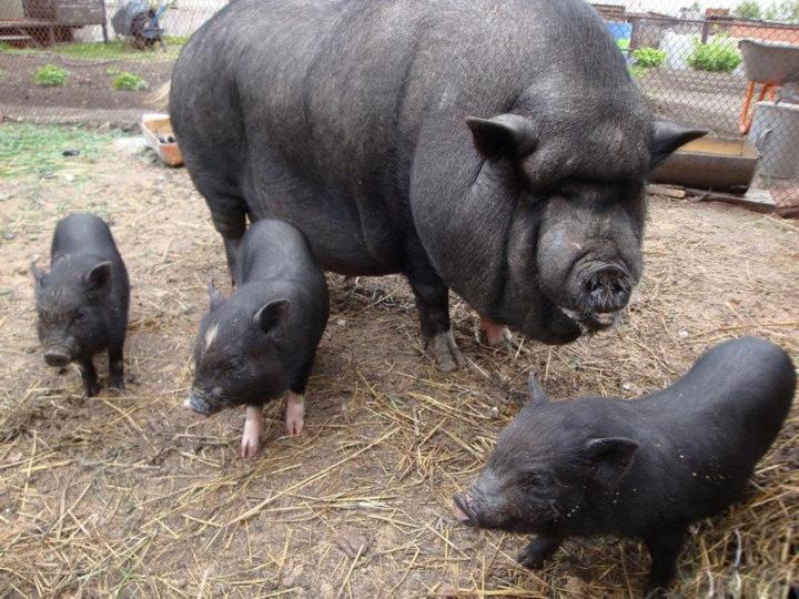 Вьетнамская свиноматка с поросятами
