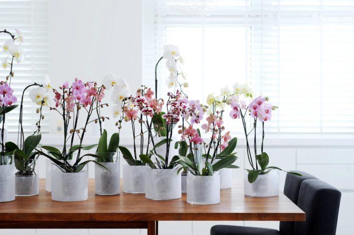 При должном уходе орхидея обязательно зацветет