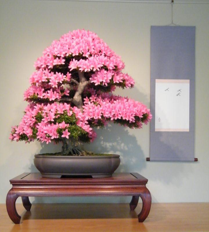 Азалия японская - всегда красивая крона