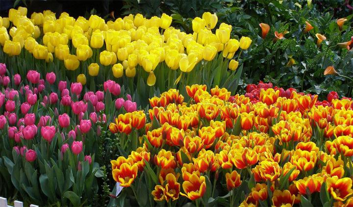 Многоцветие тюльпанов