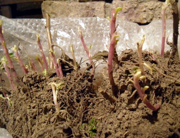 Корневища хризантем
