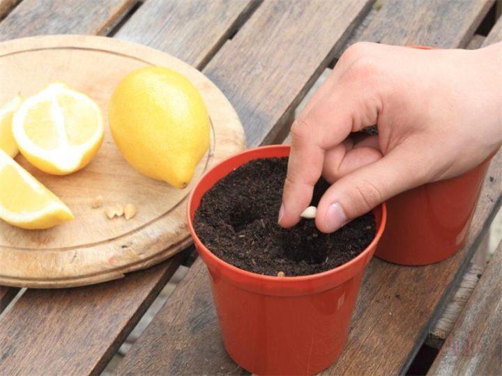Посадка лимона