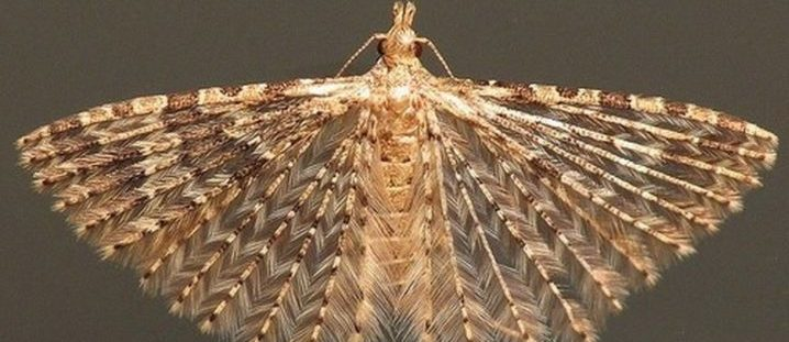 Вредитель - пальцекрылка жимолостная