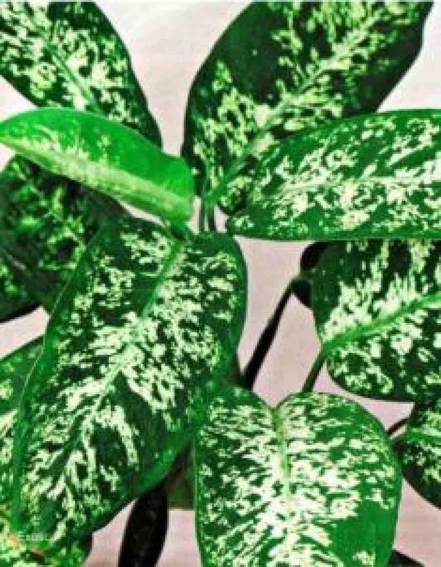 Цветы диффенбахия вред для здоровья