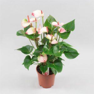 В каком уходе нуждается цветок мужское счастье?