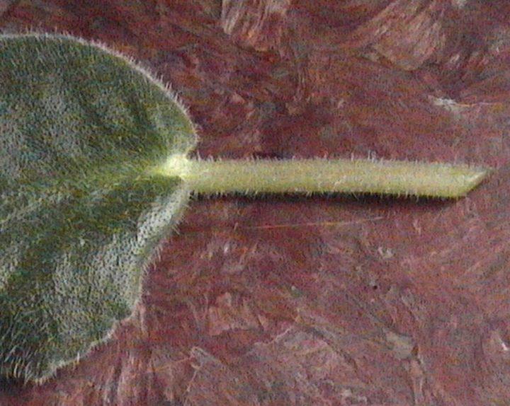Обрезанный лист фиалки