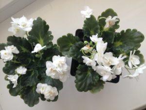 Фиалки: как ухаживать на ними чтобы цвели?