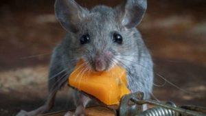 Как можно избавиться от мышей в частном доме