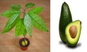 Технология выращивания авокадо из косточки в домашних условиях