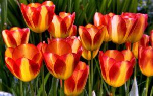 Можно ли сажать в грунт тюльпаны весной