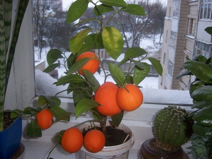 Апельсины на окошке