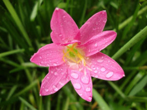 Зефирантес (выскочка) – цветок семейства амариллисовых