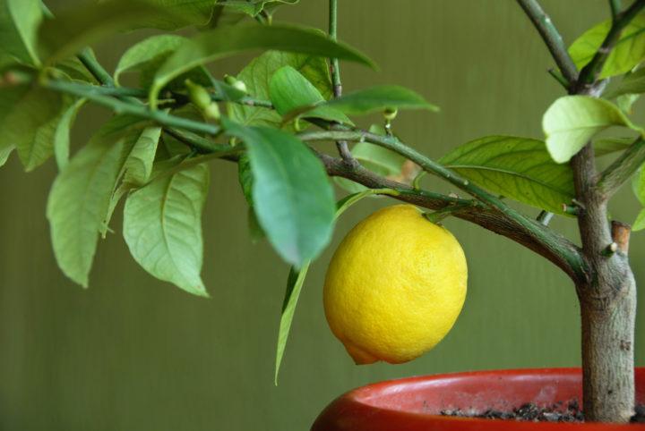 Лимон дома