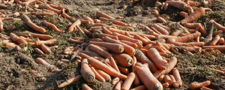 Морковь необходимо просушить