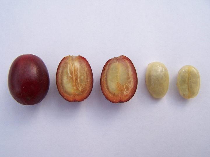 Плоды и семена кофе