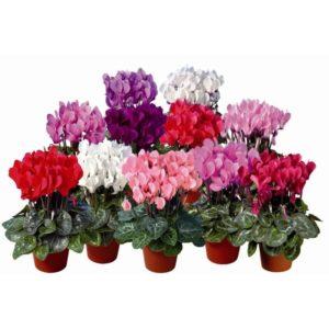 Цикломения - декоративный цветок: уход и размножение в домашних условиях