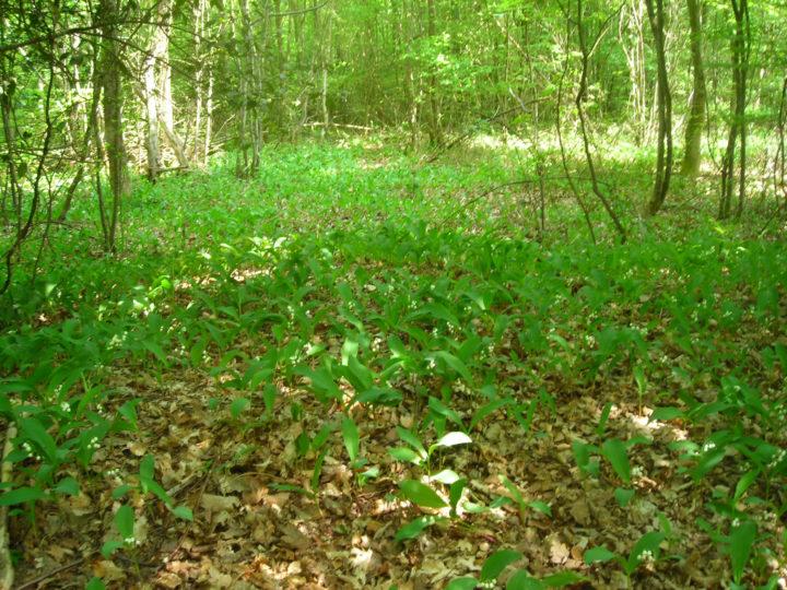 Ландыши произрастают на опушках леса