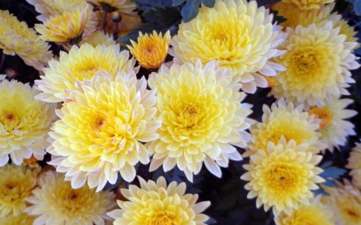 Хризантема лучше себя чувствует при оптимальной для нее температуре