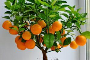 Как растут домашние апельсины